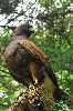 Brilliant Burren in a tree when Jim & Kathleen Hambrose were flying him with us.