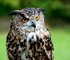 John & Tamara Hooper sent in this fantastic photo of wonderful Dingle (12 yrs old now and we have had him since he was a two week old bundle of fluff!), he is a wonderful owl (albeit naughty at times!) and we are lucky to have him.