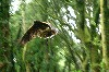 Earrach in flight, as captured by Julee Peterson on her recent Hawk Walk with us.