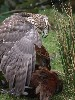Our fabulous female Goshawk on a cock pheasant she had caught