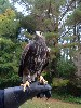 Jim & Karey Kuhlman took these great photos of Joyce & Stoker when they flew them on their recent Hawk Walk.