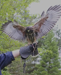 Aztec on his first ever Hawk Walk!!! Thank you to Patrick Daniel for this great photo of Aztec as his wife, Kathryn, flew him on his first Hawk Walk just the other day.