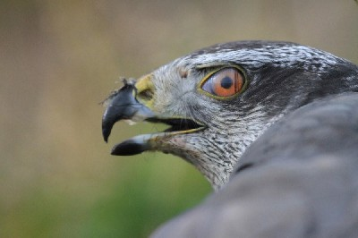 Our female Goshawk is nicely demonstrating the \'third eyelid\' or \'nictitating membrane\' that all hawks have. She is in the middle of eating a crow that she caught yesterday!