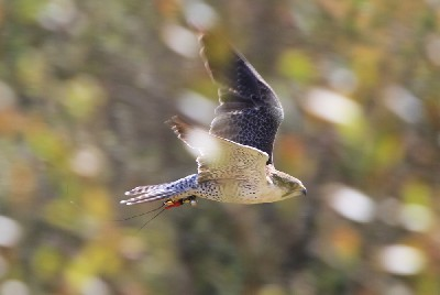 This great photo captures our wonderful falcon Corrib (A Peregrine/Saker hybrid falcon) in action just the other day.
