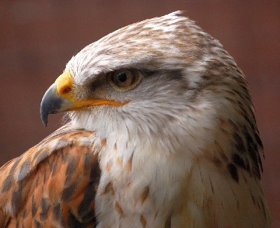 Reg, our 21 year old Ferruginous Hawk has excelled himself today and reached the grand height of 2,078 feet!!! Smashing his old record of 1,575 ft. We can hear the scream of air rushing through his bells when he stoops vertically down to us from these heights!