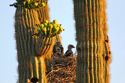 Thank you to Joanne Black for sending this fabulous photo of three baby Harris hawks in Scottsdale, Arizona.