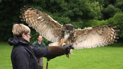 Dingle looks huge as he lands on Laurel Onfrichuk when she flew him with us recently.