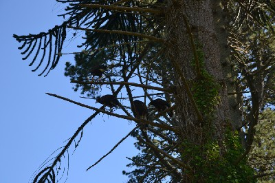 Thank you to Claudia Somes for this great photo of our four young hawks all flying together with Claudia recently.