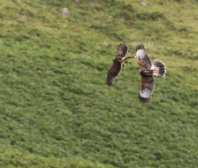 Maya & Inca play-fighting to improve their fitness and flying and hone their hunting skills.