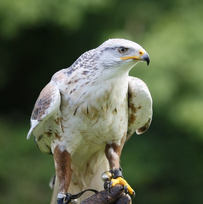 Reg, our 21 yr old Ferruginous hawk outdid himself when his altimeter told us he had reached 4,589 feet!!!