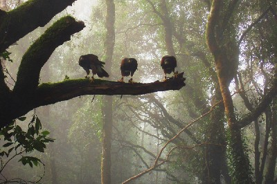Three of our male Harris hawks by Misty Sheriff