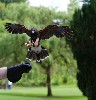 Beckett coming in to land, as taken by Henry McCrea during his Hawk Walk the other day.