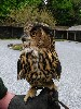 Thank you to Susan Payard for this great photo of beautiful Dingle, our wonderful 18 yr old Eurasian Eagle Owl.