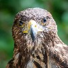 I love this wonderful portrait photo of Frodo that Ken Hilts took during his recent Hawk Walk with us. Ken has really captured Frodo's wonderfully expressive face.