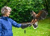 Here is Maeve Thornberry flying wonderful Hansel with us recently. Noel Hilis captured these fantastic photos. Maeve first flew hawks with us way back in 2010!