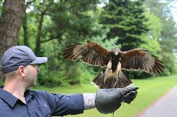 Here is Brett Dye with beautiful Inca. Brett & Rachelle flew wonderful Inca & Samhradh during their recent Hawk Walk here.